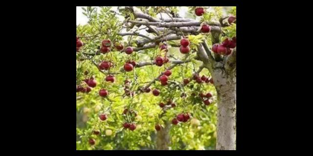 柳州市棗樹廠家 歡迎來電 聊城桃花源園藝科技供應