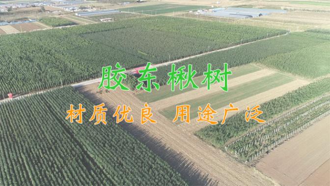 膠東楸樹種植