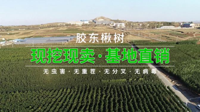 淮安小叶楸树厂家 客户至上「莱阳市绿森苗木种植供应」