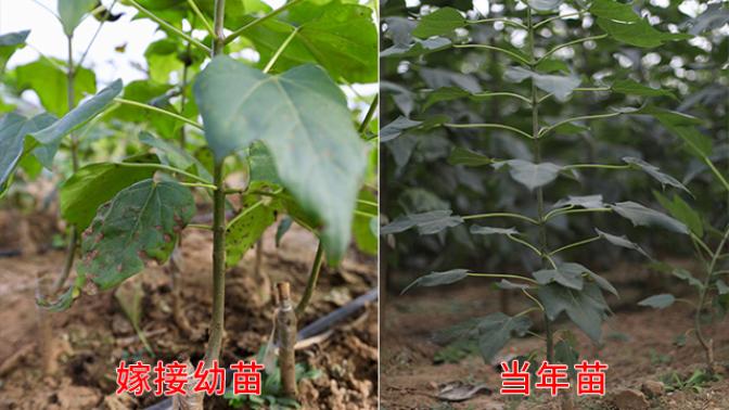 唐山速生楸樹樹種哪家比較便宜