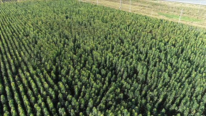 威海胶东楸树多少钱 来电咨询「莱阳市绿森苗木种植供应」