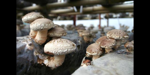 长阳有机食用菌单价 南漳富荷农牧供应