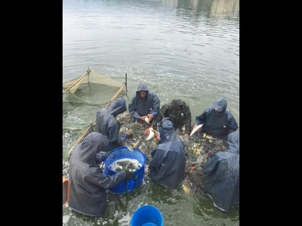 丽江草鱼鱼苗批发 宜良平宜水产养殖供应