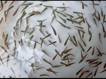 玉溪中档鱼内水产养殖公司 抱诚守真「宜良平宜水产养殖供应」