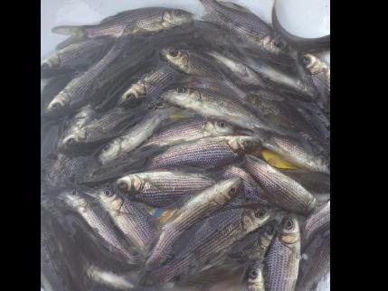 四大家鱼下塘垂钓在哪里 诚信为本「宜良平宜水产养殖供应」