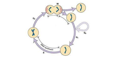 长沙brdu细胞增殖实验