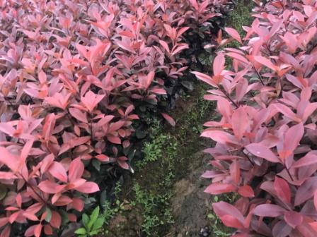 东阳供应红叶石楠采购「金华市润景园林供应」