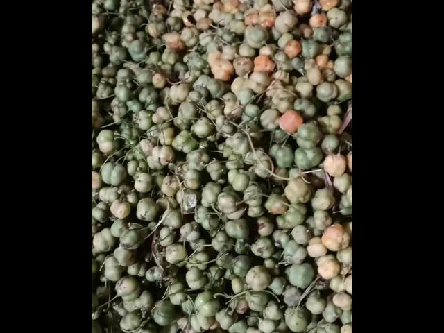 山西葛根的种苗,种苗
