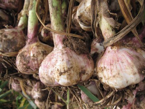 吉林销售大蒜种子种子,大蒜种子