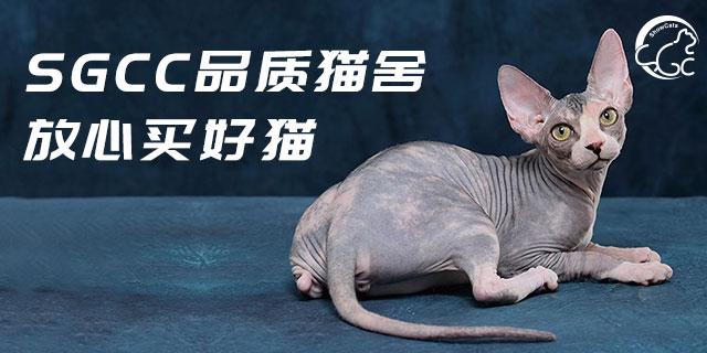 四川国际买猫金渐层