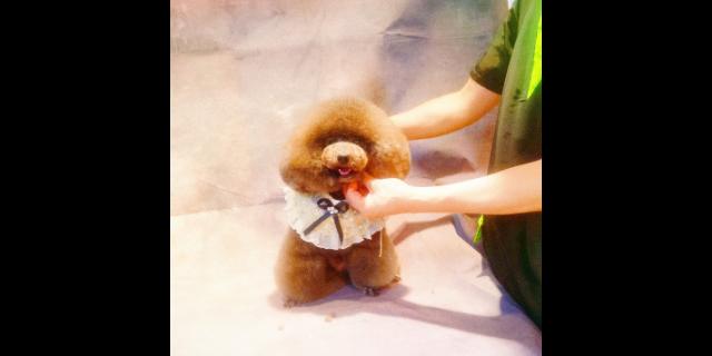 上海寵物洗護剪毛多少錢 服務至上「上海派霏爾寵物美容培訓供應」