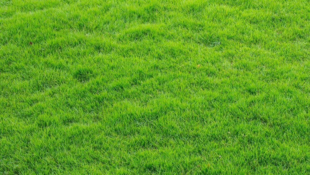 中山口碑好马尼拉草,马尼拉草