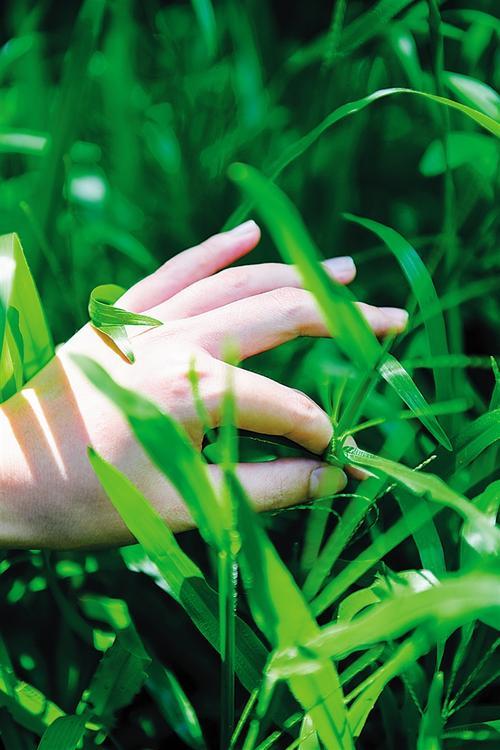 惠州小型大叶油草价格,大叶油草