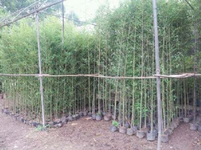 惠州小型刚竹批发,刚竹