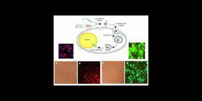 唐山正规细胞高效转染试剂产品介绍