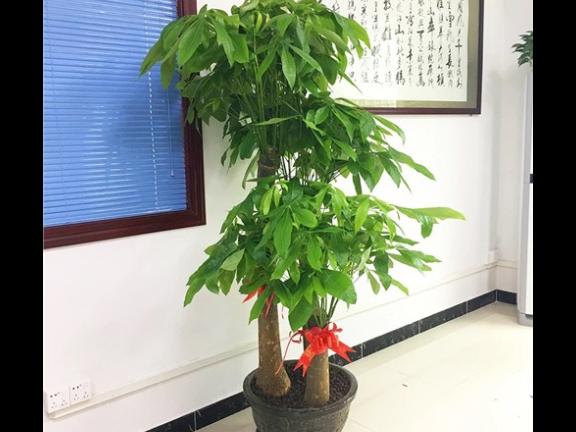 酒店綠植租賃價格「深圳市綠園軒園林花卉供應」