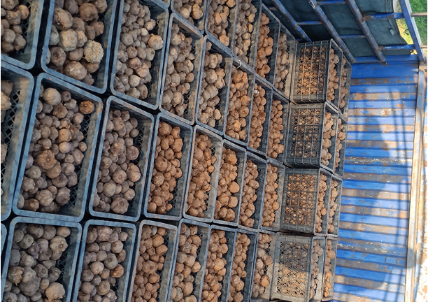 曲靖白魔芋种子怎么保存 推荐咨询「云南腾辉魔芋种子供应」