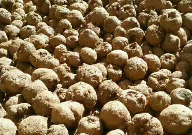云南一代魔芋种子栽培技术 服务至上「云南腾辉魔芋种子供应」
