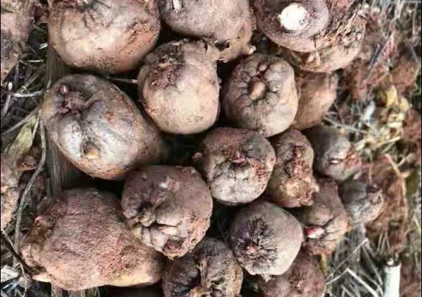 一代白魔芋种子供应商 诚信服务「云南腾辉魔芋种子供应」