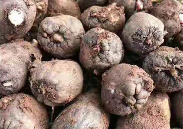 富源花魔芋种子促销价格 诚信服务「云南腾辉魔芋种子供应」
