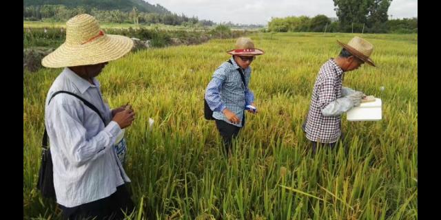 淮北便宜的血糯米廠家 值得信賴「宇順高科種業供應」