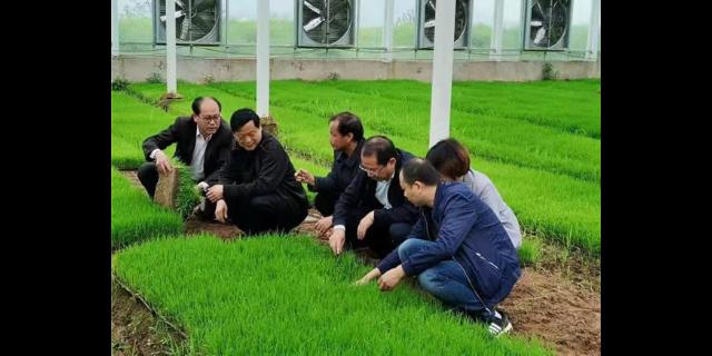 望江三色米含糖么 诚信为本「宇顺高科种业供应」