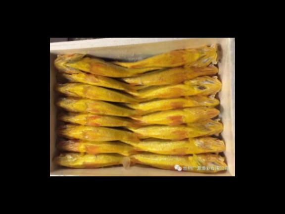 浙江海极尊鲜活大黄鱼供货商 欢迎来电 台州广源渔业供应