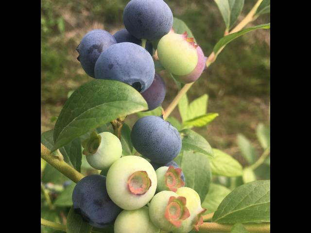 聊城薄雾蓝莓苗种植基地 台州市君临蓝莓供应