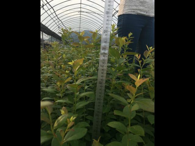 阜阳莱格西蓝莓苗报价 台州市君临蓝莓供应