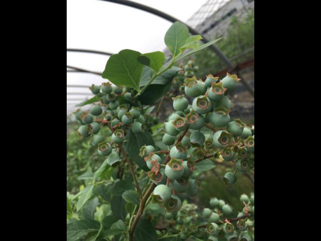德州绿宝石蓝莓苗 推荐咨询 台州市君临蓝莓供应