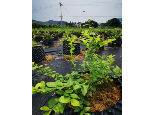 丹東明星藍莓苗批發多少錢「臺州市君臨藍莓供應」