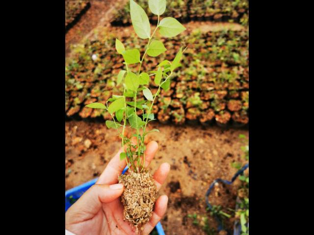 枣庄绿宝石蓝莓苗基地 抱诚守真 台州市君临蓝莓供应