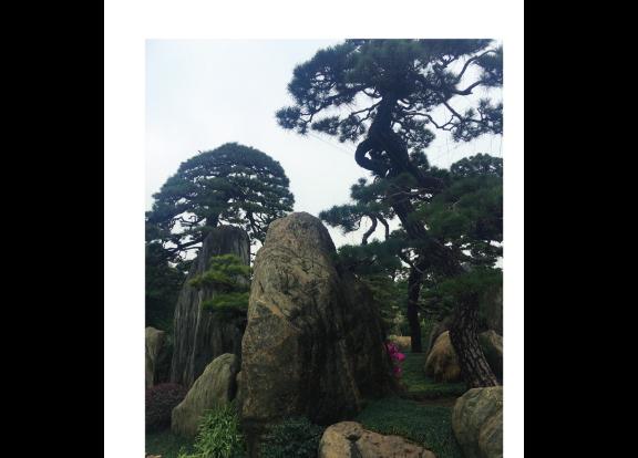 安徽黑松种苗 真诚推荐「大地植物园供应」