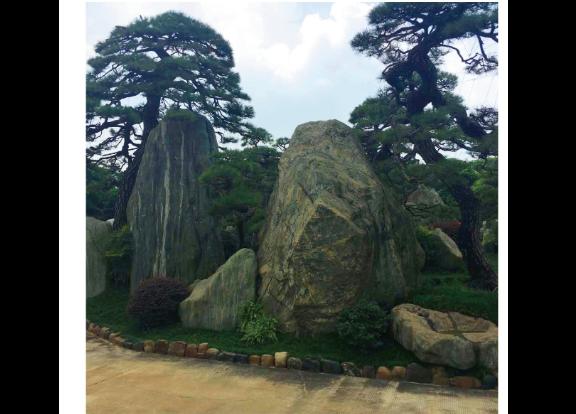 安徽工程用的黑松盆景 诚信为本 大地植物园供应