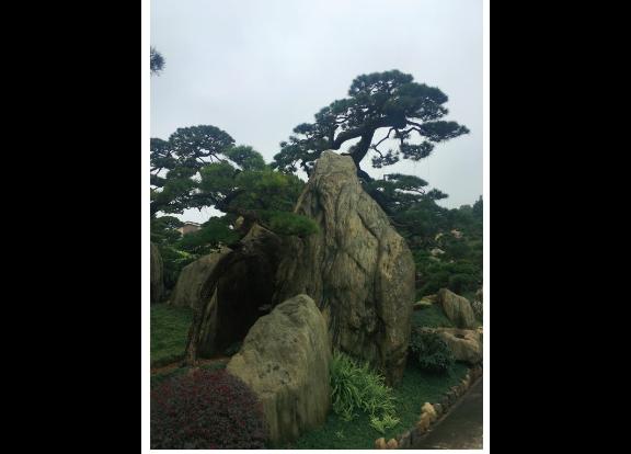 上海工程用的黑松售价 诚信为本 大地植物园供应
