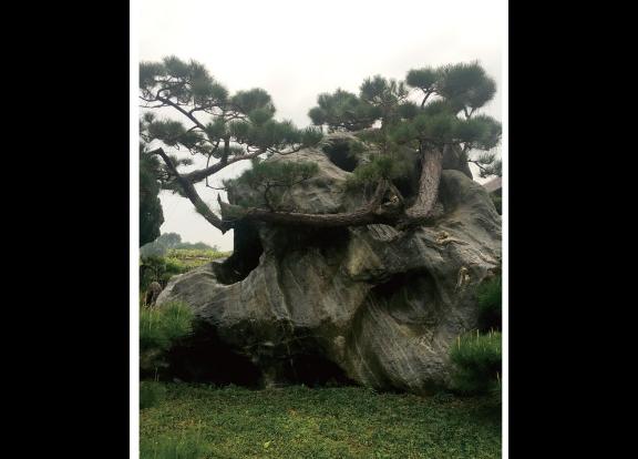 浙江园林用的黑松桩景 诚信为本 大地植物园供应