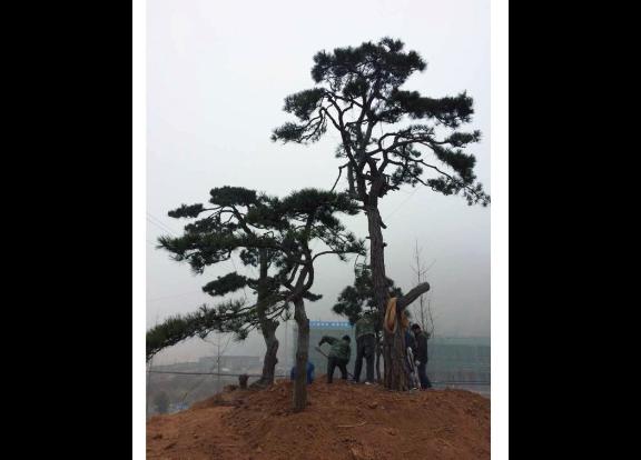 湖北别墅用黑松幼苗造型 真诚推荐「金华市无名园林绿化供应」