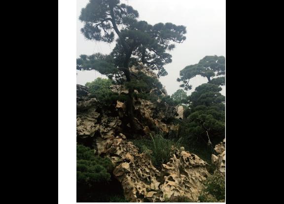 安徽别墅用的黑松多少钱一颗 诚信为本 大地植物园供应