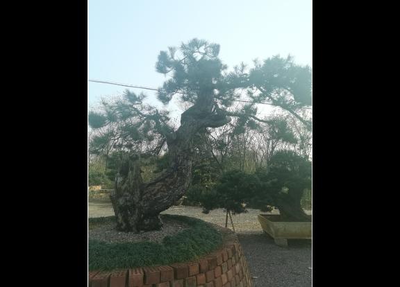 江苏造型黑松 诚信为本 大地植物园供应