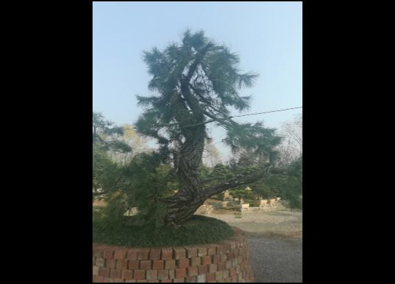 安徽房产项目用黑松月季苗 真诚推荐「金华市无名园林绿化供应」