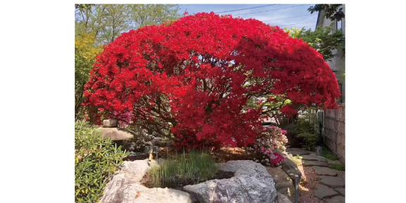 珍珠映山红价格 诚信为本「大地植物园供应」