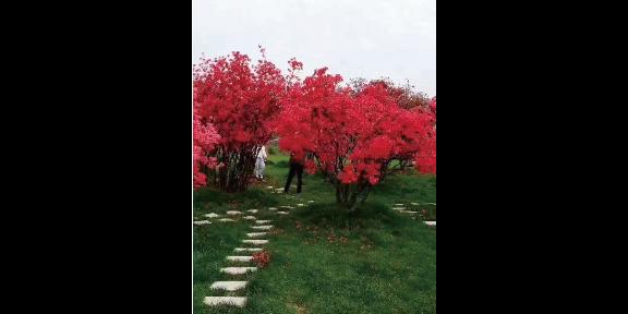 安徽映山红图片 诚信为本 大地植物园供应