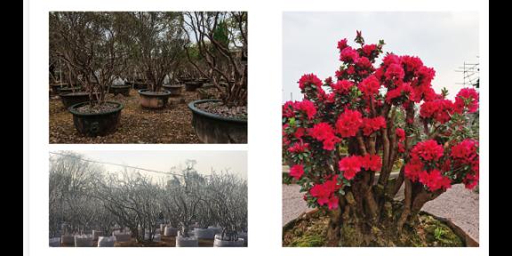 安徽家养映山红盆景 诚信为本「金华市无名园林绿化供应」