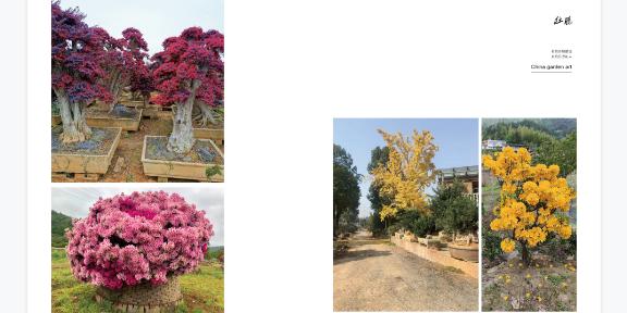 浙江别墅用的映山红哪里便宜 真诚推荐 大地植物园供应