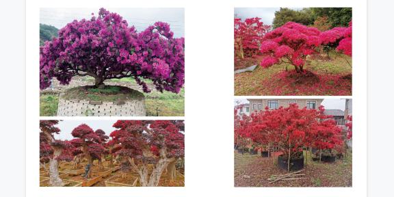 江蘇園林用映山紅多少錢一顆,映山紅