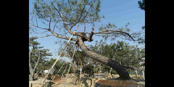 浙江园林用黑松好不好养 诚信为本 大地植物园供应