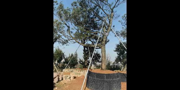 江苏工程用黑松幼苗造型 诚信为本 大地植物园供应