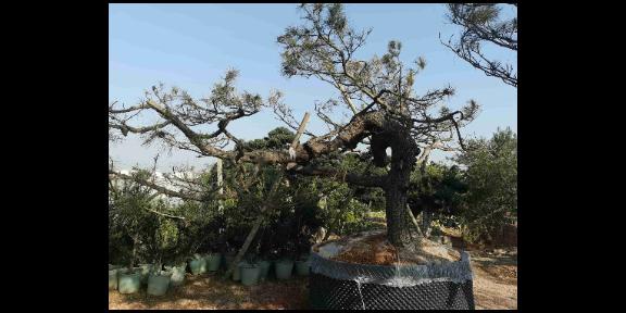山东园林用的黑松全国销售 真诚推荐「大地植物园供应」