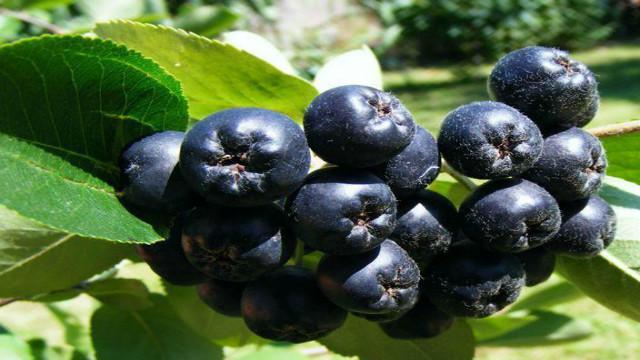 湖南喝不老莓原浆哪个好 值得信赖 湖南沃滋康生物科技供应