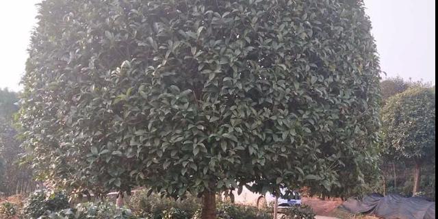 合肥11公分桂花樹售價 歡迎來電 咸安區春城苗圃供應